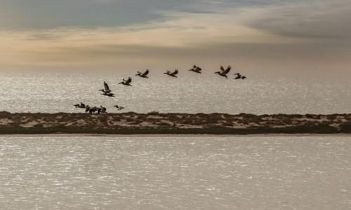 Zdjecie MAURETANIA /  na wybrzeżu / Banc d'Arguin / Pelikany