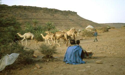 MAURETANIA / masyw Adraru / oaza Teizent / Wielbłądy odchodzące rankiem z oazy na pastwiska