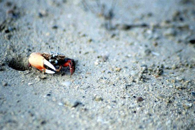 Zdjęcia: wystarczy chwila ciszy i spokoju i kraby pojawiają się na całej plaży, kolacja na plaży :), MAURITIUS