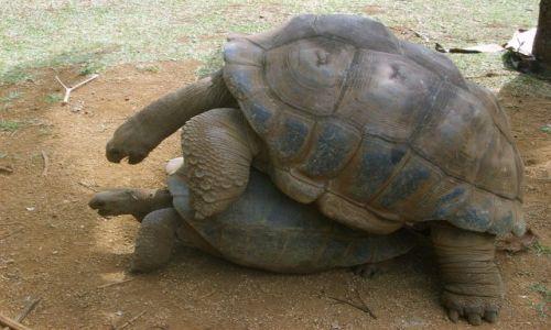 Zdjęcie MAURITIUS / - / Mauritius / Żółwie   KONKURS