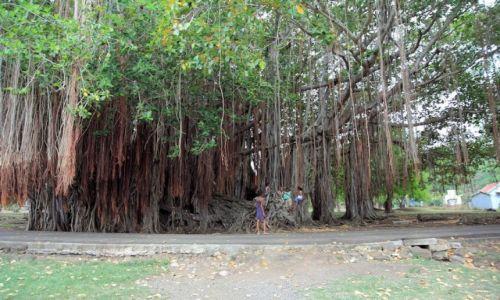 Zdjecie MAURITIUS / interior / gdzieś na wyspie / Płaczące Drzewo