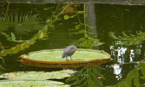Zdjęcie MAURITIUS / Pamplemousses / Pamplemousses Botanical Garden  / Ladowisko