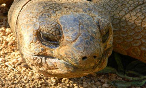 Zdjecie MAURITIUS / Riviere Des Anguilles / La Vanille Reserve /  Aldabra tortoises