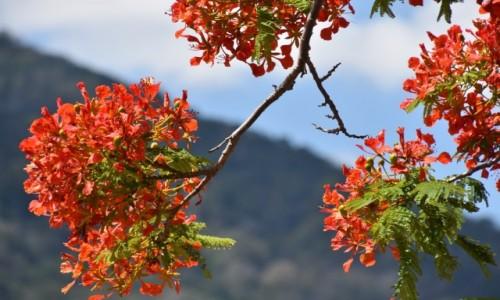 Zdjęcie MAURITIUS / zachodnie wybrzeże / Grande Case Noyale / Kwitnące drzewa