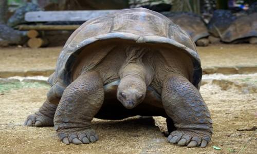 Zdjecie MAURITIUS / Savanne / La Vanille Nature Park / Żółw olbrzymi