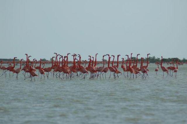 Zdjęcia: Rio Lagartos, Yucatan, Flamingi, MEKSYK
