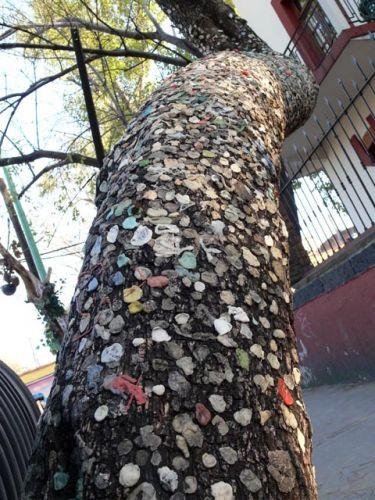 Zdjęcia: Miasto Meksyk, dzielnica Coyocan, Drzewo oblepione gumami do zucia.., MEKSYK