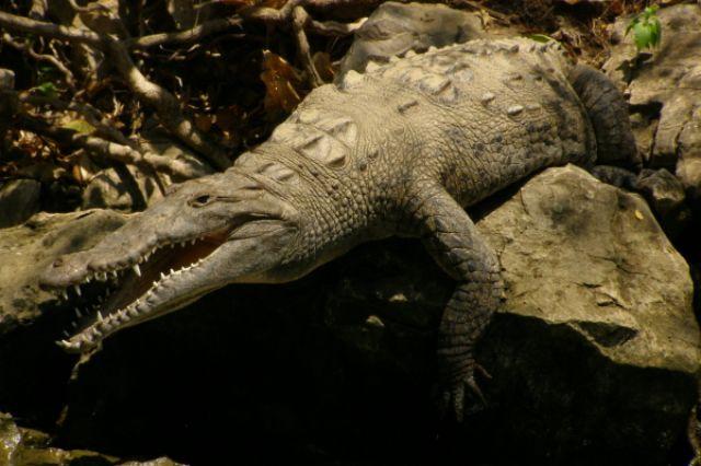 Zdjęcia: kanion El Sumidero, krokodyl, MEKSYK