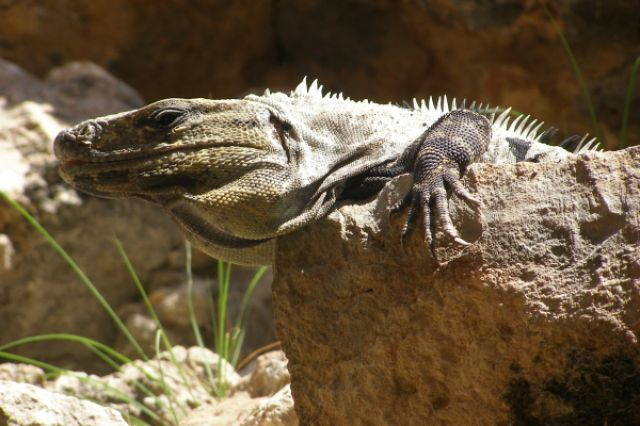 Zdjęcia: Uxmal, iguana1, MEKSYK