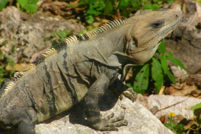 Zdjęcia: Uxmal, iguana2, MEKSYK