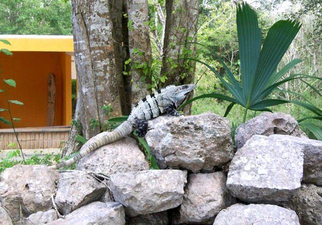 Zdj�cia: Jukatan, iguana, MEKSYK