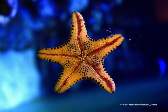 Zdjęcia: Meksyk, Morze Karaibskie, Rozgwiazda, MEKSYK
