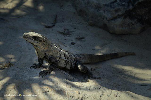 Zdjęcia: Meksyk, Meksyk, Iguana, MEKSYK