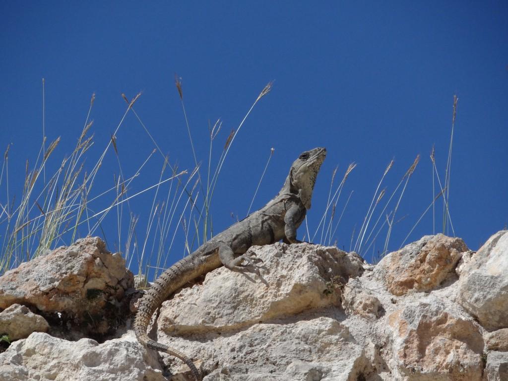 Zdjęcia: ..., Jukatan, Iguana , MEKSYK