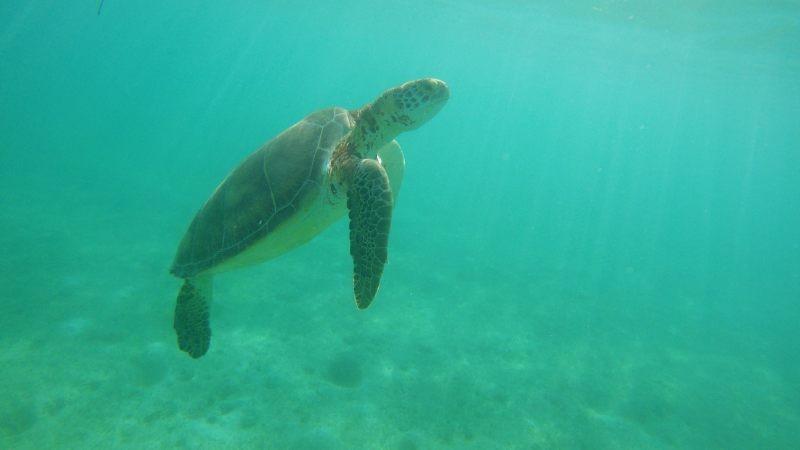 Zdjęcia: Akumal, Jukatan, Żółwie w Akumal Bay, MEKSYK