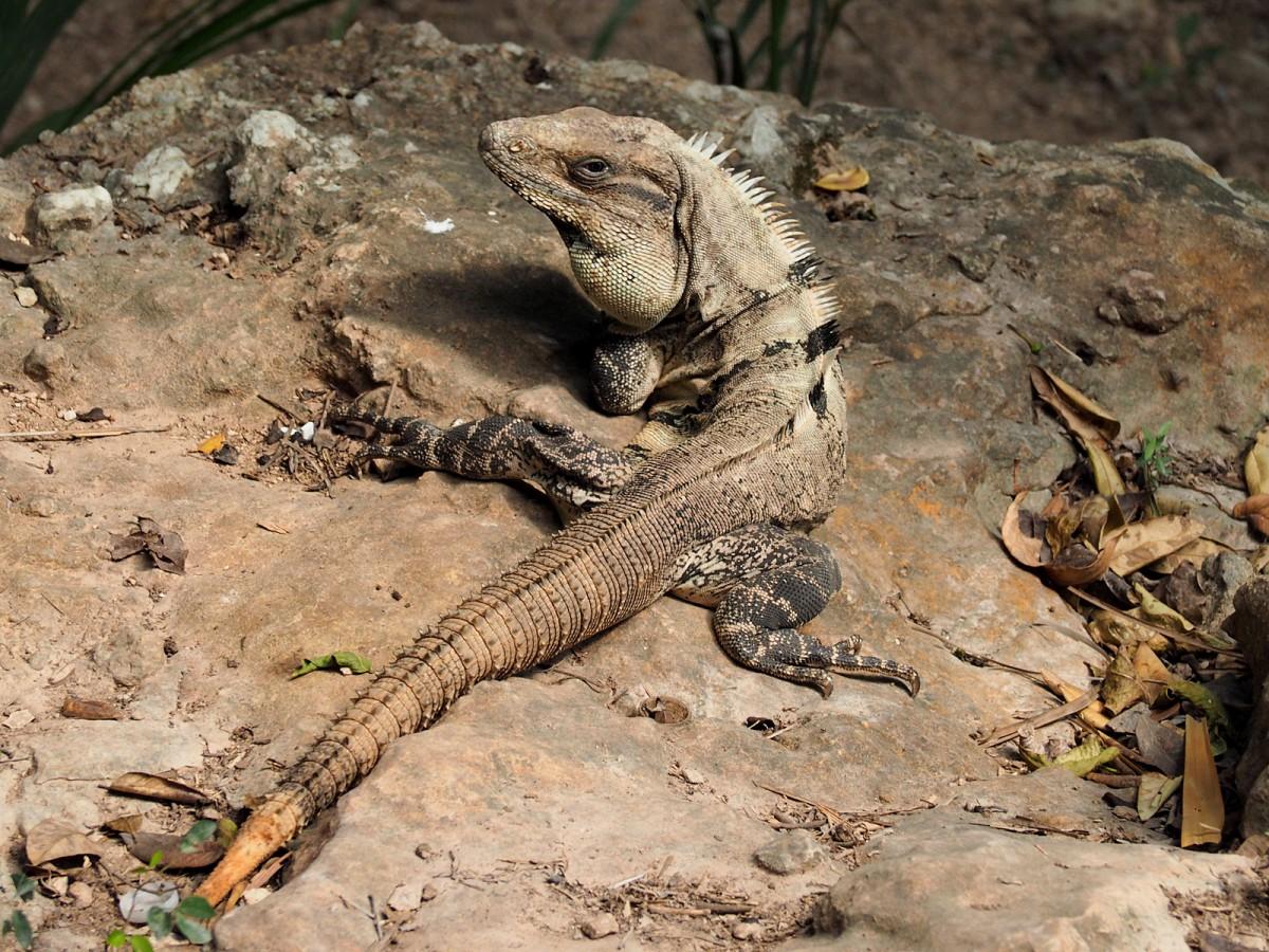 Zdjęcia: Chichén Itzá, Jukatan, Iguana, MEKSYK