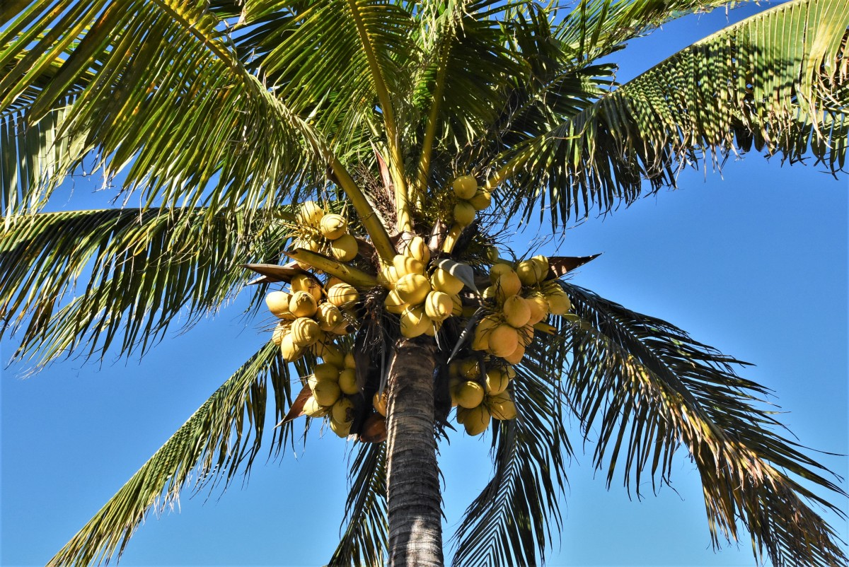 Zdjęcia: Cancun, Jukatan, Kokosy, MEKSYK