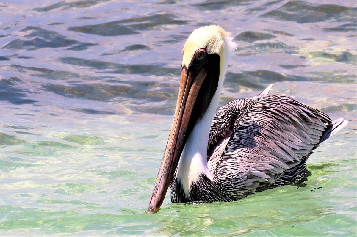 Zdjęcia: Wyspa Holbox, Pelikan brunatny, MEKSYK
