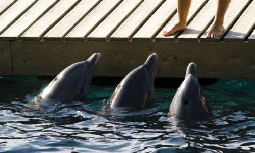 Zdjecie MEKSYK / - / Xcaret / Delfiny