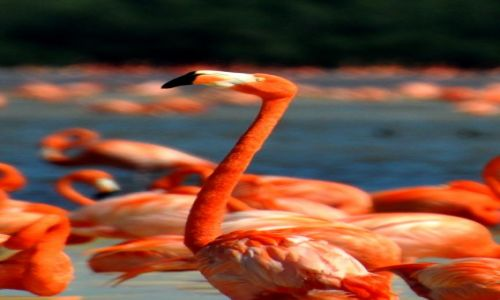 Zdjecie MEKSYK / - / Zatoka Celestun / Flamingi karmazynowe