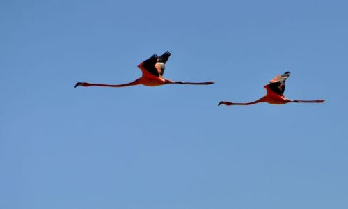 MEKSYK / - / Zatoka Celestun / Flamingi karmazynowe
