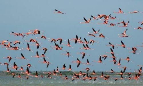 Zdjęcie MEKSYK / Yucatan / Rio Lagartos / Flamingi