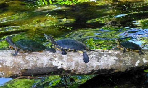 Zdjecie MEKSYK / Jukatan / Grand Cenote - w pobliżu Coba / Żółwie gęsiego - Konkurs