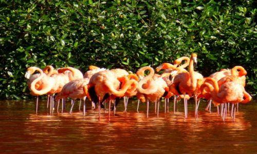 Zdjecie MEKSYK / Jukatan / Celestun / Flamingi z Celestun - Konkurs