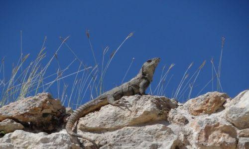 Zdjecie MEKSYK / Jukatan / ... / Iguana