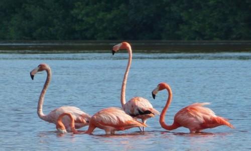 Zdjęcie MEKSYK / Jukatan / Rezerwat biosfery Celestun / Flamingi różowe