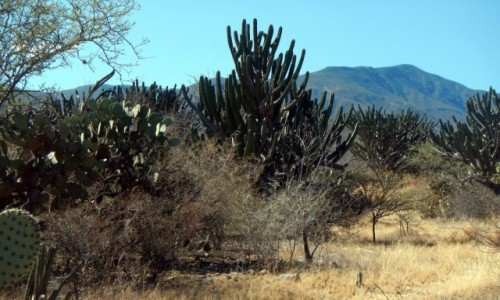 Zdjęcie MEKSYK / Puebla / W drodze / Gdzie kaktus rośnie na pustyni, agawy kwitnie bujnie kwiat...