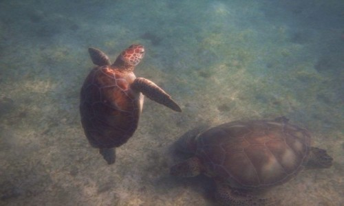 MEKSYK / Jukatan / Akumal / Żółwie w Akumal Bay