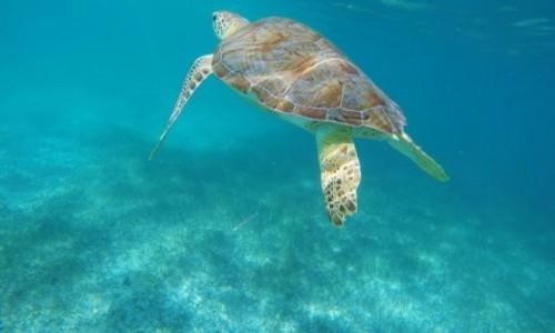 Zdjęcie MEKSYK / Jukatan / Akumal / Żółwie w Akumal Bay