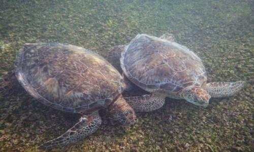 Zdjecie MEKSYK / Jukatan / Akumal / Żółwie w Akumal