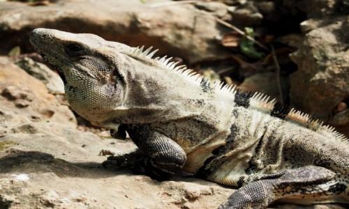 Zdjęcie MEKSYK / Jukatan / Chichén Itzá / Iguana wygrzewająca się na słońcu