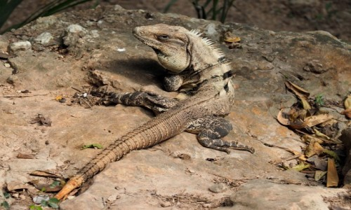 Zdjecie MEKSYK / Jukatan / Chichén Itzá / Iguana
