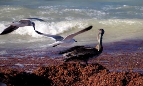 Zdjecie MEKSYK / Jukatan / Progreso / Pelikan