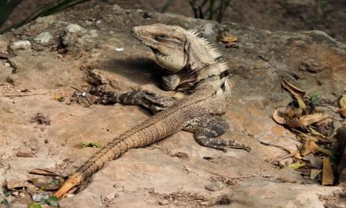 Zdjęcie MEKSYK / Jukatan / Chichén Itzá / Iguana