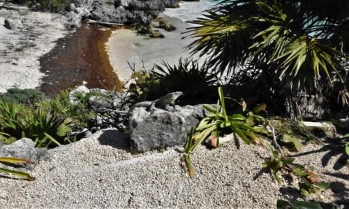 Zdjęcie MEKSYK / Jukatan / Tulum / Tulum, Iguana