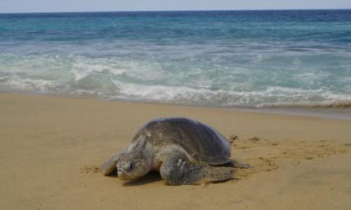Zdjecie MEKSYK / Michoacan / Wybrzeże Pacyfiku / Żółwie w Meksyku