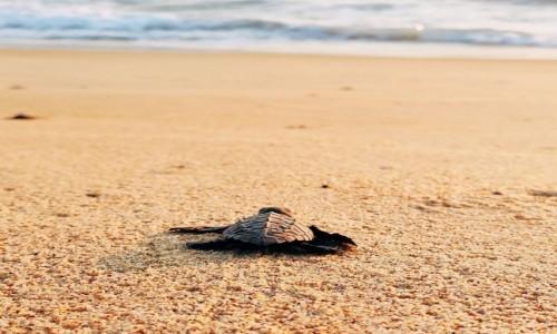 Zdjecie MEKSYK / Oaxaca / Puerto Escondido / Żółw morski