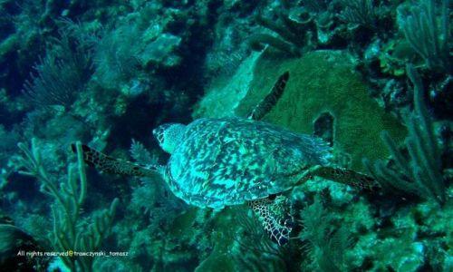 Zdjecie MEKSYK / Morze Karaibskie / Meksyk / Żółw