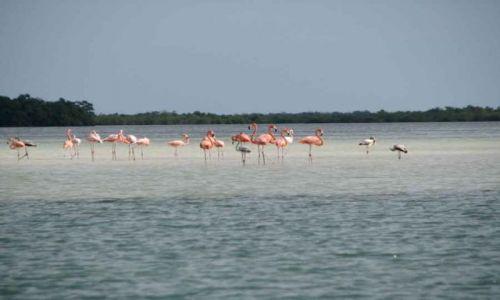 Zdjecie MEKSYK / Wyżyna Meksykańska / Isla Pasion / różowe Flemingi