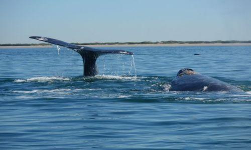 Zdjecie MEKSYK / Isla Santa Margerita / Isla Santa Margerita / wieloryby