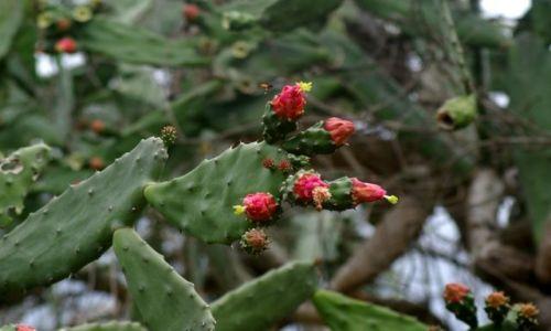 Zdjecie MEKSYK / Veracruz / Huatusco / Kłujący smakołyk