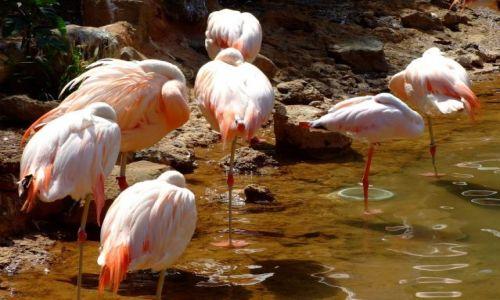 Zdjęcie MEKSYK / Meksyk / - / flamingi