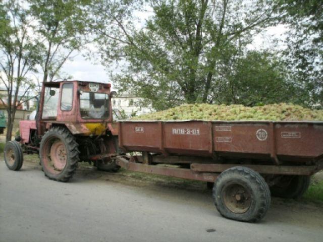 Zdjęcia: Milesti Mici, winogrono czekające na skup, MOłDAWIA