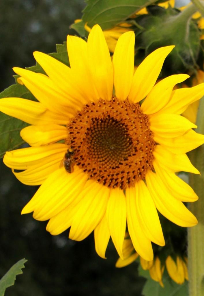 Zdjęcia: Saharna, Północ, Słoneczny słonecznik, MOłDAWIA