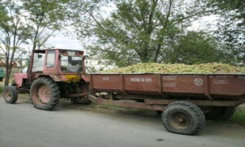 Zdjecie MOłDAWIA / brak / Milesti Mici / winogrono czekające na skup