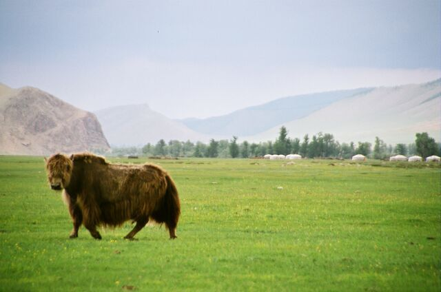 Zdj�cia: Podn�a A�taju, Mongolski jak, MONGOLIA